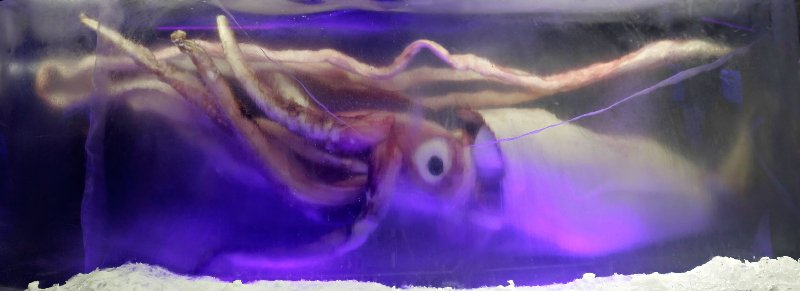 giant_squid_melb_aquarium03